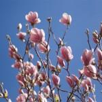 Mer magnolior