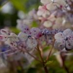 Prickig hortensia