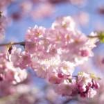 Mer körsbärsblom