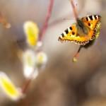 Mer nässelfjärilar