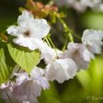 Botaniska del 11 – Körsbärsblommor