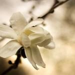 Magnolia i regnet