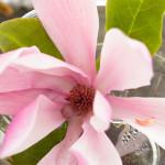 Magnolior i makroläge
