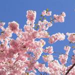 Körsbärsträdet