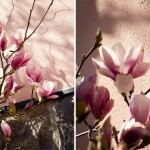 Årlig tradition: Magnolior